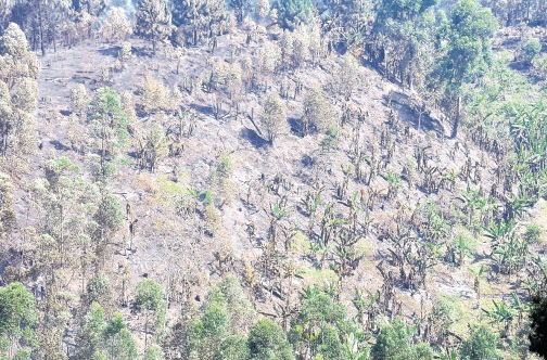 Source: Jamaica Observer, 29/5/2015, A large section of a plantation scorched by the flames.